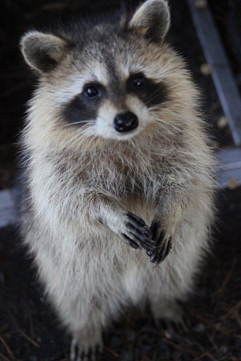 Aw, it's a trash panda … isn't he just the cutest? (image courtesy: wildlifehotline.com)